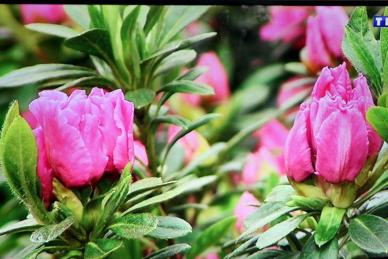 Les fleurs du roi