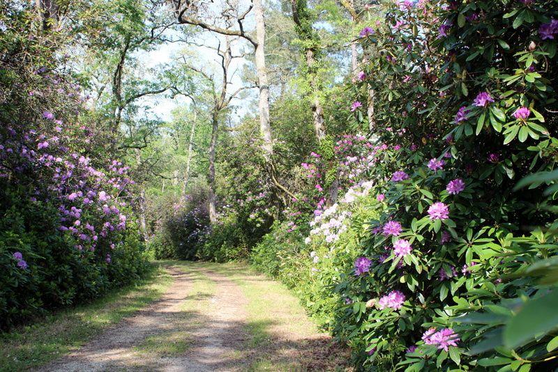 Les rhododendrons de Grenade
