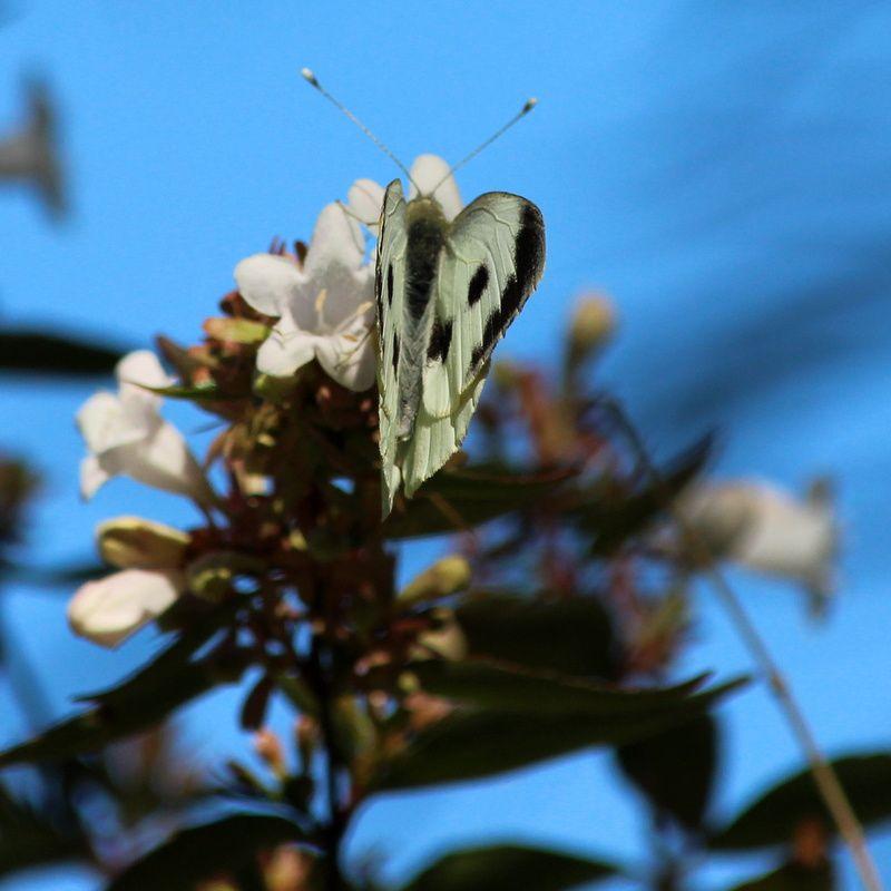 Le papillon de fin d' Eté