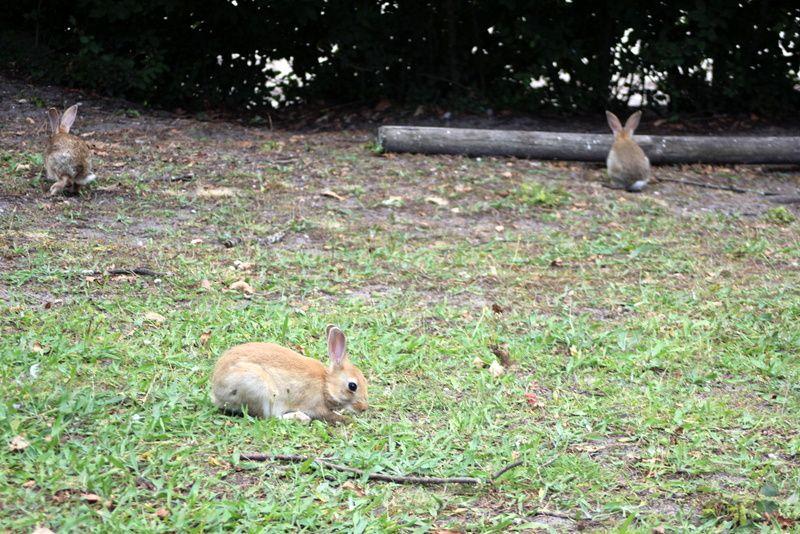 Le lapin désobéissant
