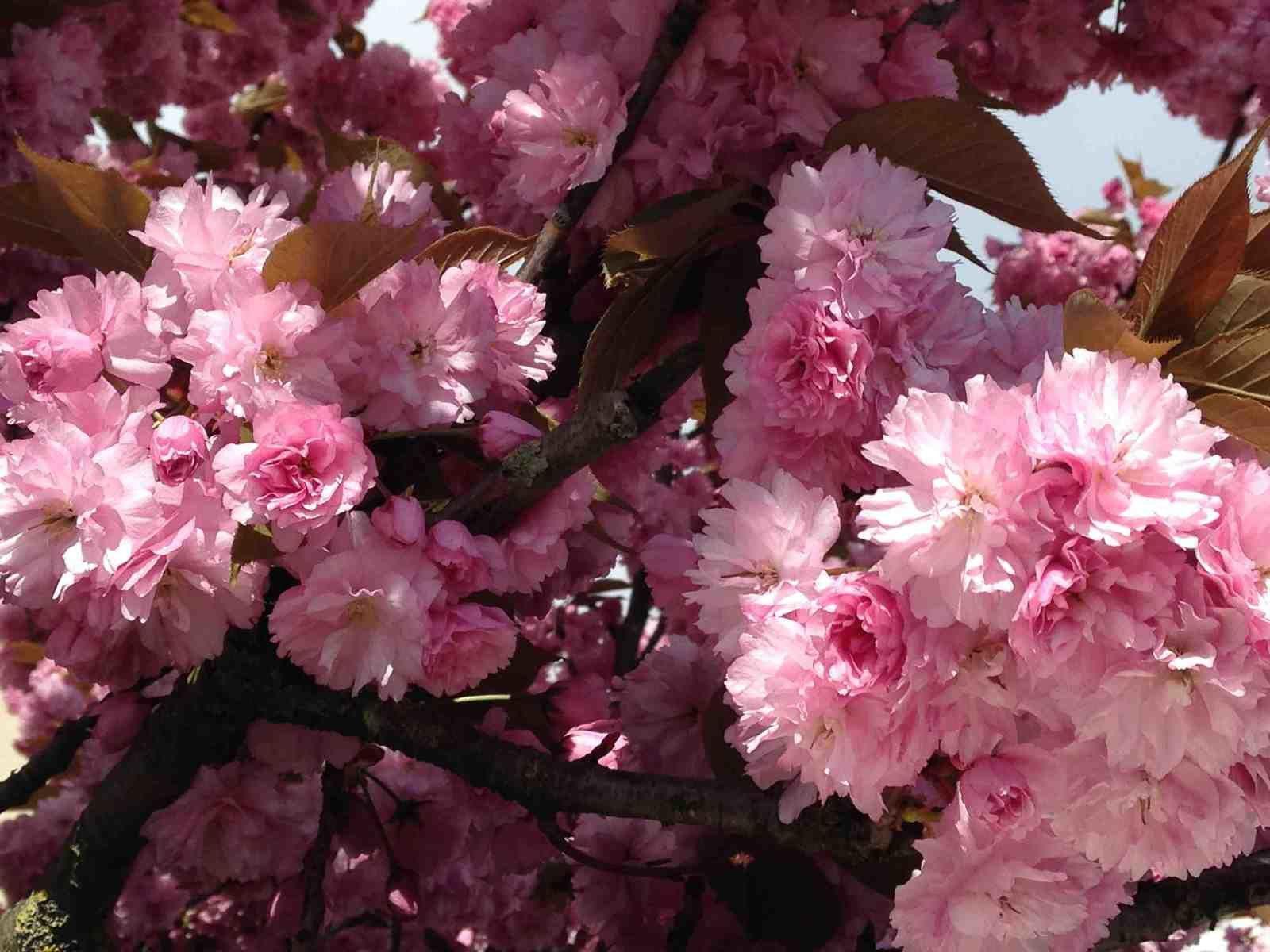 Trois haïkus à la vie et à la mort des printemps