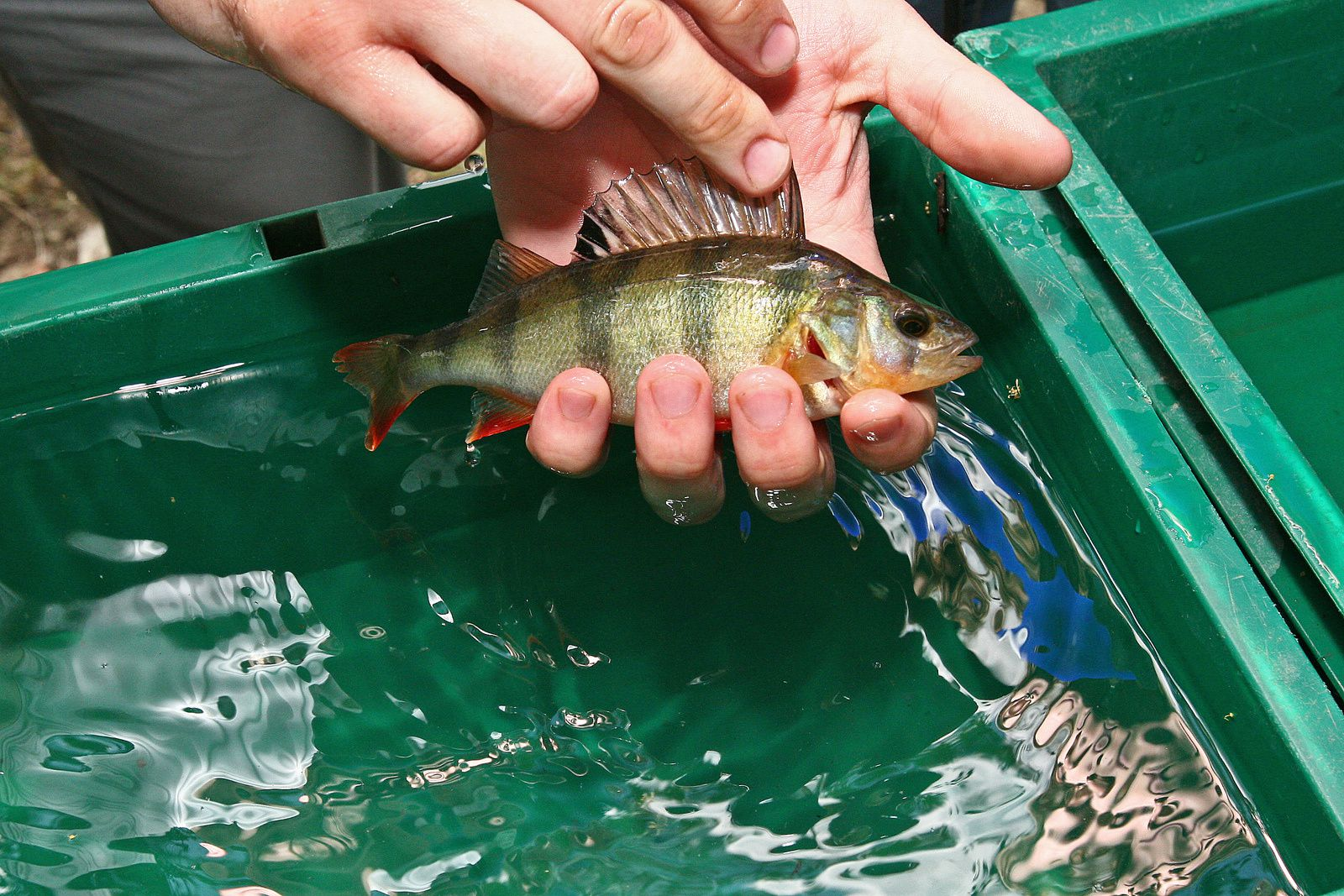 Petit poisson deviendra grand