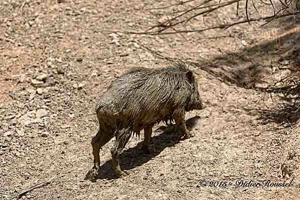 Cochon bwa