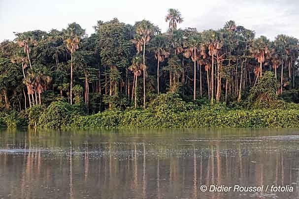 Palmiers sur la Mana