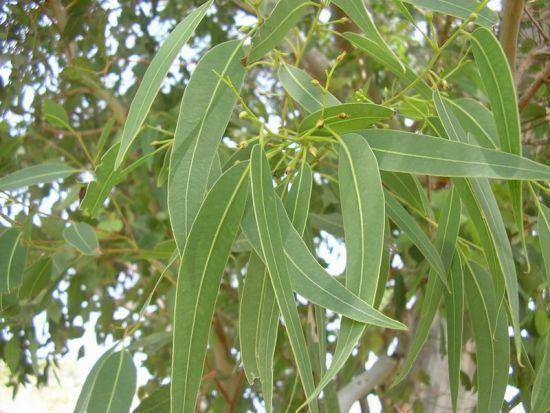Eucalyptus globuleux (Eucalyptus globulus)