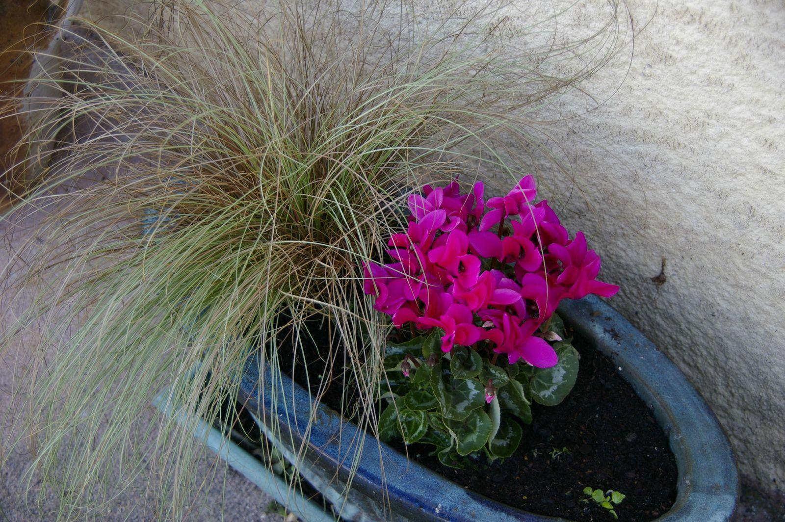 Carex cuivré et mini-cyclamen