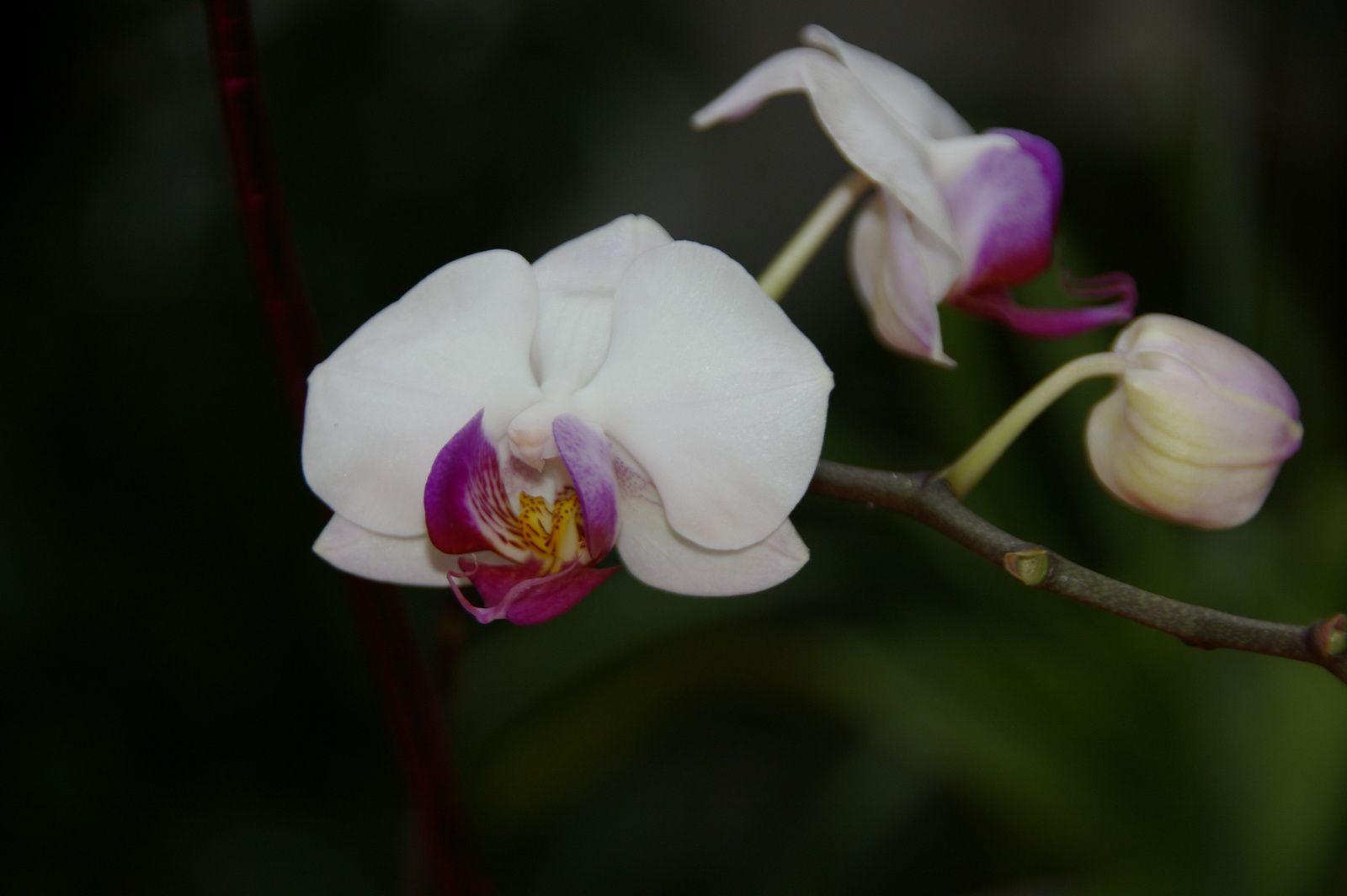 ma phalaenopsis blanche qui est en piteux état : plusieurs boutons de fleurs ont nécrosé.
