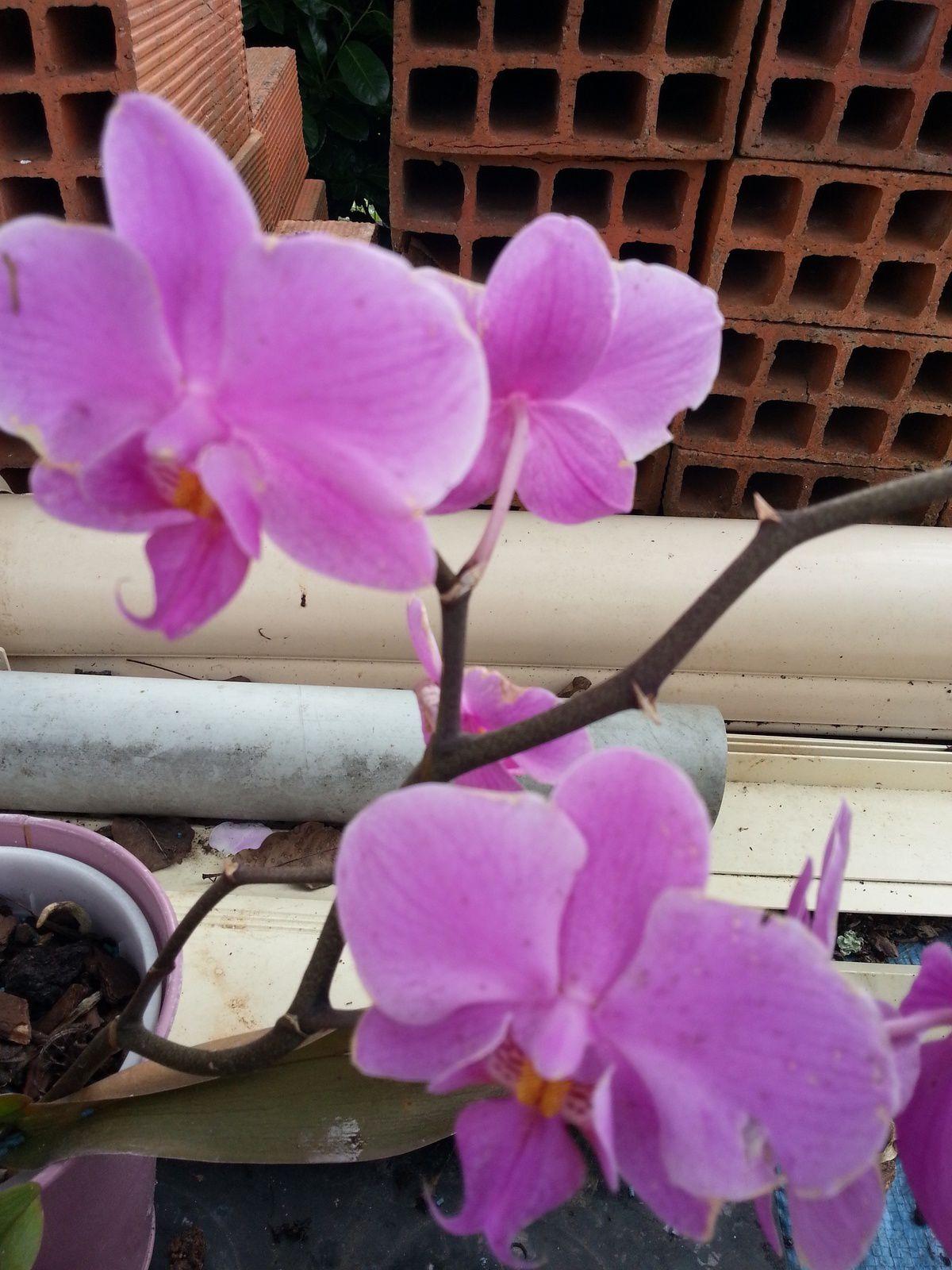 La phalaenopsis rose