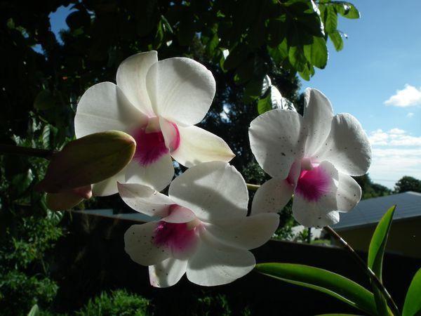 fleurs tropicales : orchidées d'extérieur, fleurs des sous-bois réunionnais, hibiscus orange et dipladénia jaune