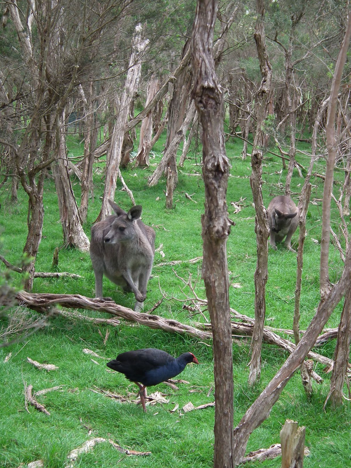 philip island ferry penguins koalas kangaroos