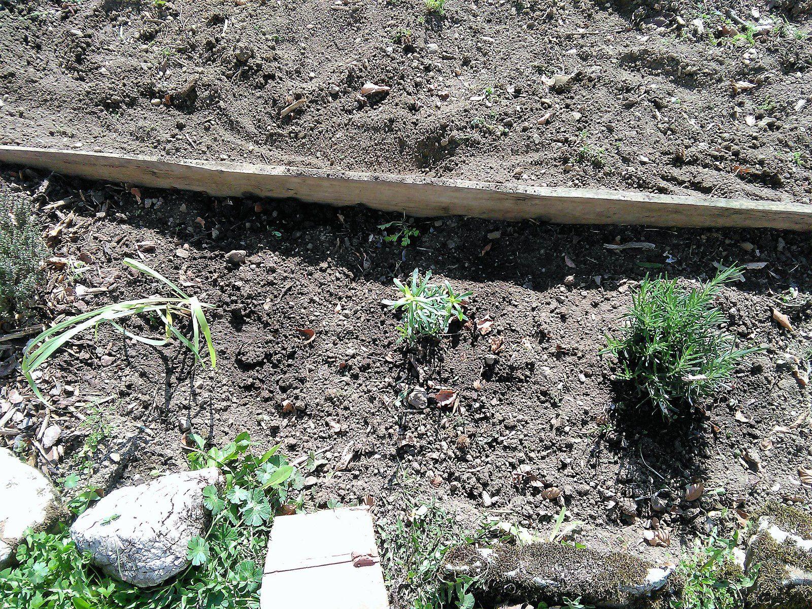 Les tulipes sortent, herbes aromatiques supplémentaires plantées, plantons de salade, semis de persil, coriandre et cerfeuil.