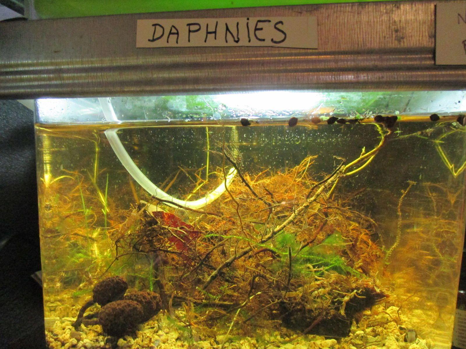 daphnies, de la nature à l'aquarium.
