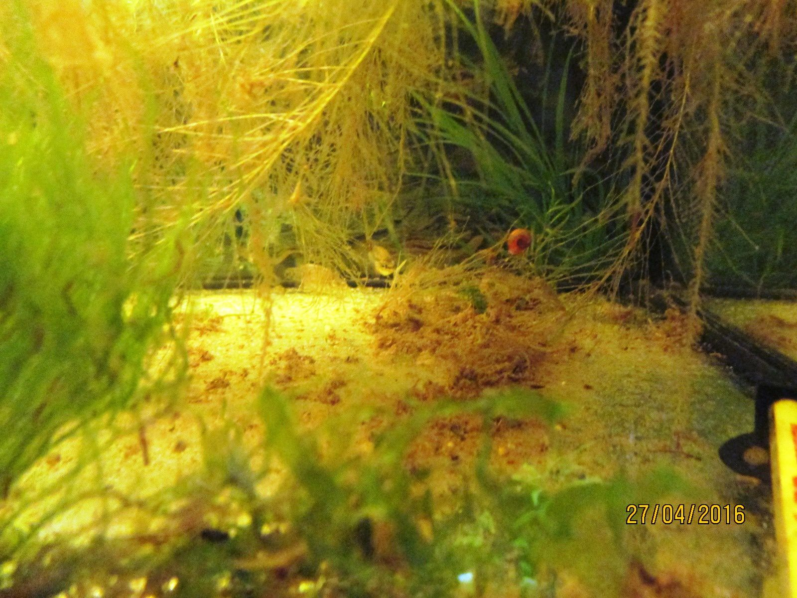 photos: Zoogoneticus tequila&#x3B; Zoogoneticus purhepechus à l'abri des regards&#x3B; Sturisoma aureum&#x3B; Pistia stratiotes, Salvinia natans, Vesicularia dubyana, Fontinalis antipyeretica, Riccia fluitans et Azolla filiculoides à la surface du bac des Zoogoneticus purhepechus.