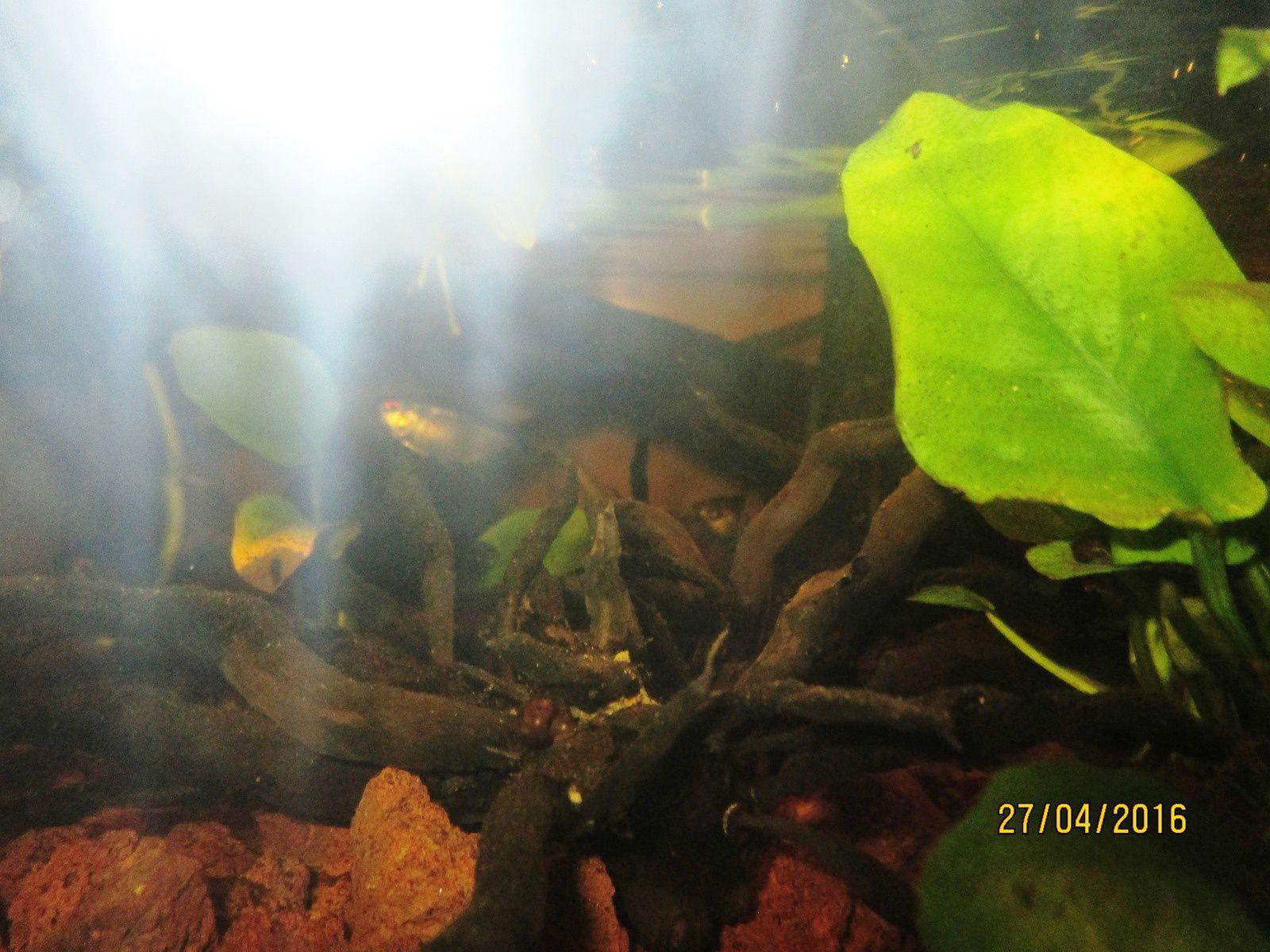 petits Corydoras paleatus, Moenkhausia sanctaefilomenae sous les racines&#x3B;Corydoras aeneus et Planorbis corneus&#x3B; Lemna minor, Pistia stratiotes et Salivinia natans a la surface d'un aquarium&#x3B; Tanichthys sp. et Endler's tiger gris&#x3B; aquaterrarium planté