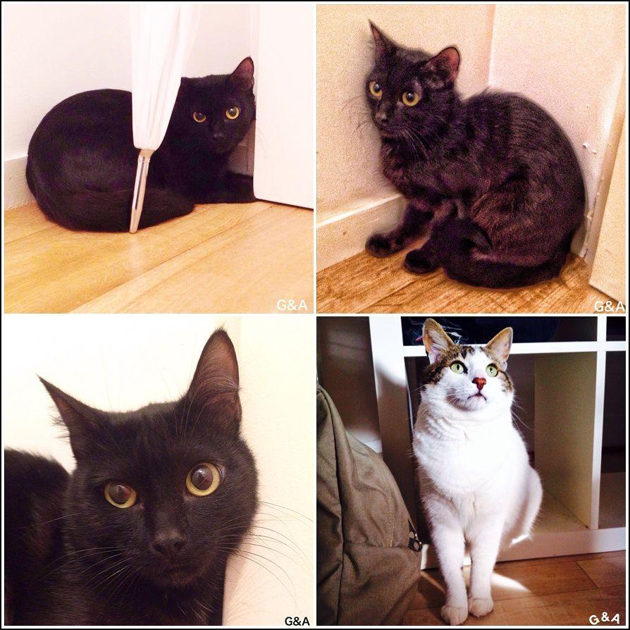La belle panthère, c'est Luigi, un chat Félin Possible, sorti de la fourrière et qui, comme les 9 autres chats sortis ce jour là (en juillet) de la fourrière, a déclaré le typhus 3 jours plus tard. Le beau loulou a résisté à cette maladie souvent fatale et depuis il a été adopté par sa famille d'accueil ! En bas à droite, Maïko a aussi été adopté par sa Famille d'Accueil !