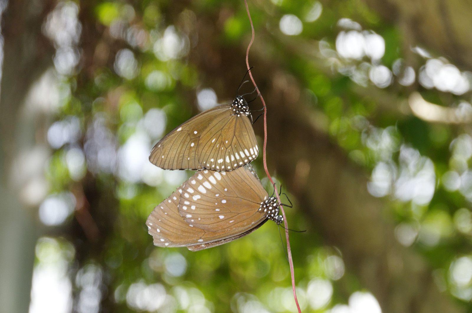 Papillons de St Martin