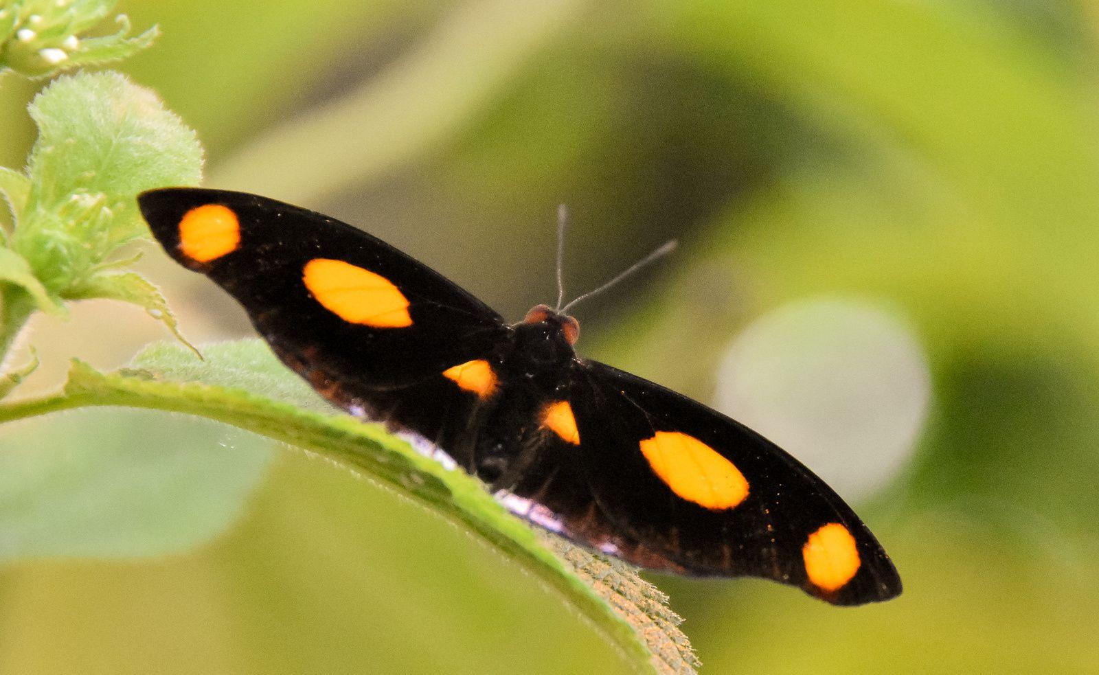 papillons 2016