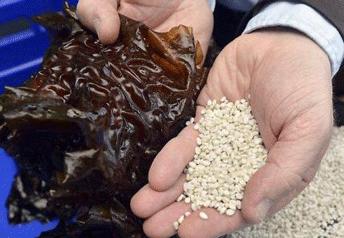 Les granules de bioplastique (algoblend) et les algues fabriqués par Algopack.