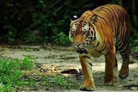 Vendredi 29 juillet 2011, journée internationale du tigre
