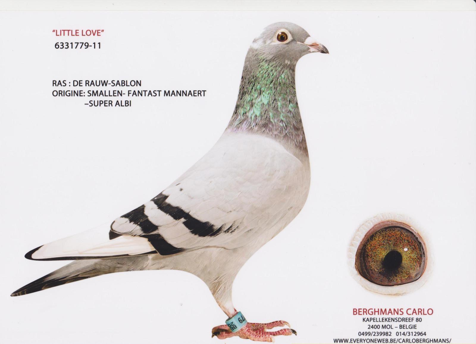 """Françis ROGISTER (Soumagne/Belgique) """"""""LITTLE LOVE"""" a été acquise pour le bon prix chez Carlo BERGHMANS à Mol. C'est une 100 % AELBRECHT x DE RAUW SABLON (J.MANNAERT). """"La 1347"""" (ORANGETTE) a été acquise à la vente publique de FRANSSEN Francis de Bolland."""