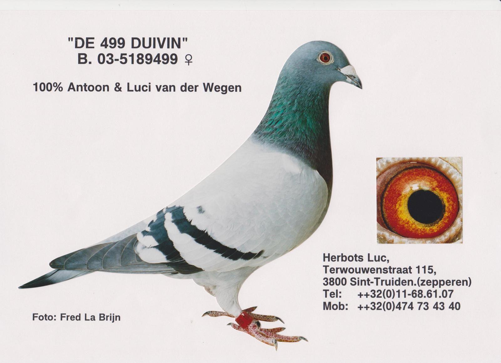 """Christian WAUTHION (Velaine s/Sambre/Belgique) - """"DE 499 DUIVIN"""" est une femelle 100 % Antoon & Luci van der WEGEN acquise chez Luc HERBOTS/Zepperen - """"De FLOERE"""" est un mâle écaillé flori 100 % Jac van der WEGEN recu de JL RAVIGNANT (un ami). Ce couple nous a donné beaucoup de pîgeons très bon au voyage (des prix sur Pau, Marseilles, Limoges ...) mais aussi à l'élevage tant chez nous que dans d'autres colombiers"""