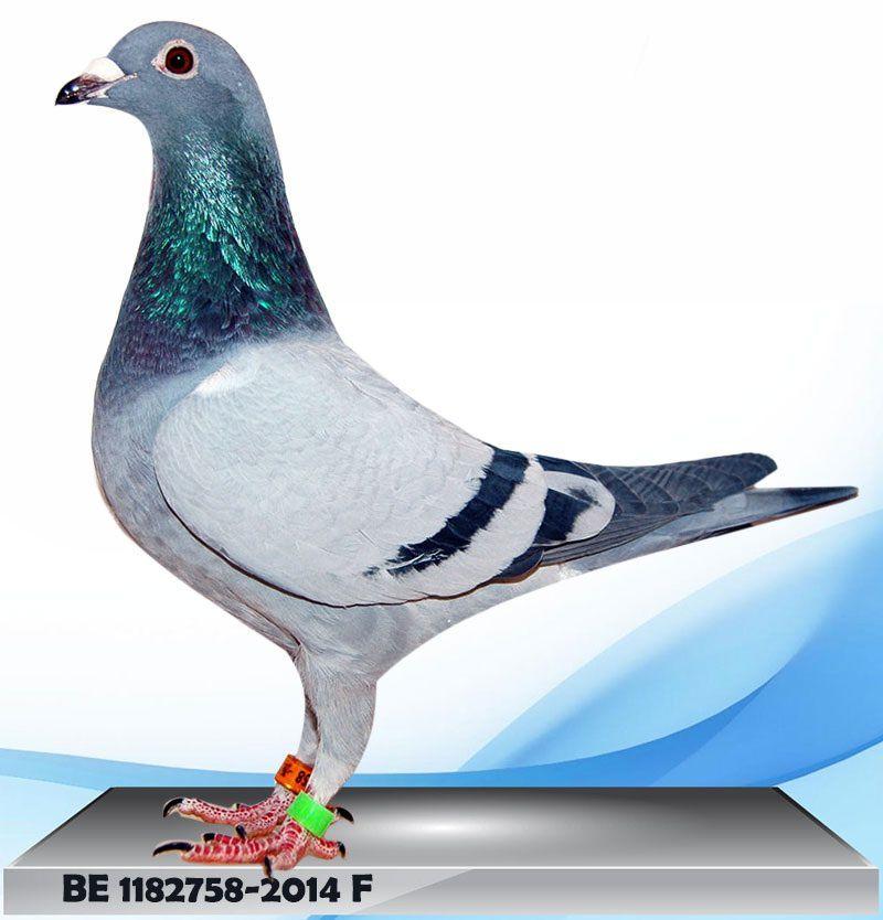 """Ioan CARMAZAN (Roumanie) - les 213, 209, 758, 757 sont des oiseaux """"made in Lincent"""" issus de nos couples Gaby Vandenabeele - Le 439 (""""Créoné"""") est un direct Luc Herbots/Zepperen (100 % A/L van der Wegen) - le 740 est un direct Antoon & Luci van der WEGEN"""