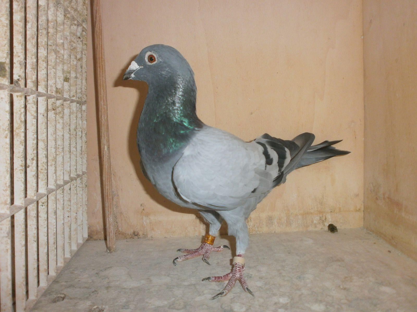 Pigeons à céder (New)!