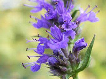 Fleur d'hysope officinale.