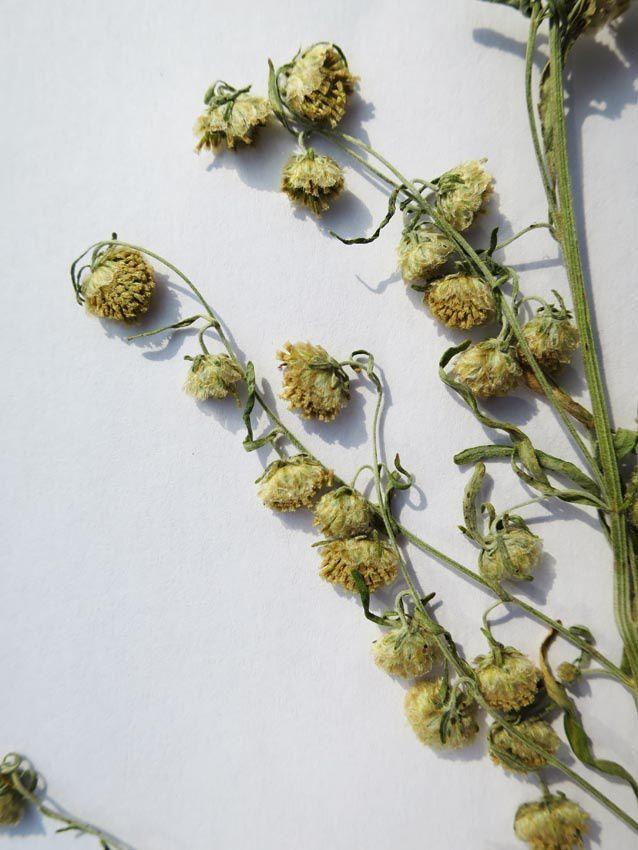 Artemisia absinthium, dite Grande absinthe. Ph. Delahaye.