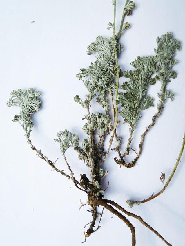 Différents éléments d'une première touffe. Les tiges sont graciles et espacées avec de toutes petites fleurs. Ph. Delahaye.