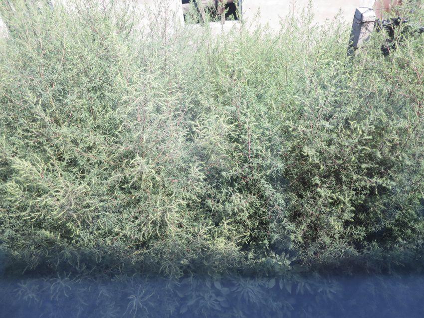 Artemisia campestris vue du train. Ph. Delahaye.