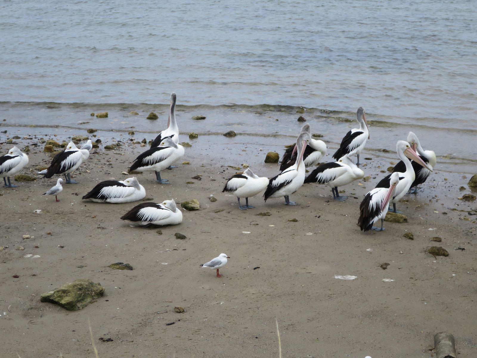 Beaucoup d'oiseaux parmi les pélicans. Présence de cygnes noirs. Ph. Delahaye.