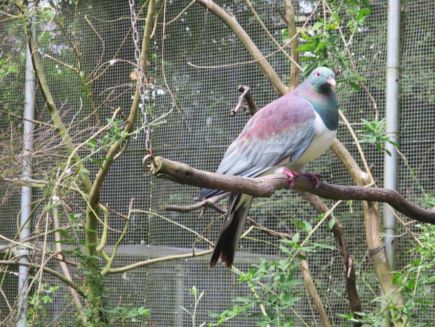 Pigeon particulier à la Nouvelle-Zélande. Ph. Delahaye.