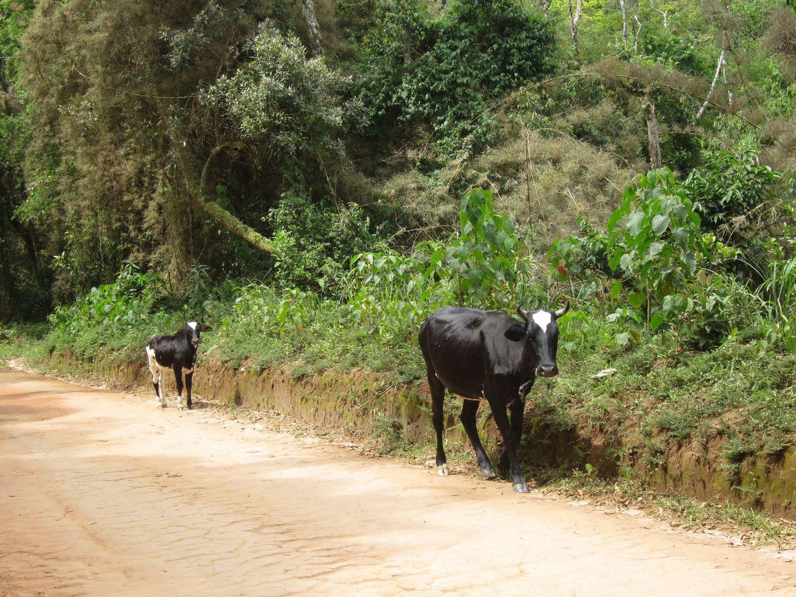 sur le retour : tiens une maman et son veau qui se font la malle : on a beaucoup exagéré sur la perfection des brésiliennes, qui sont souvent bien en chair. En revanche les vaches ...