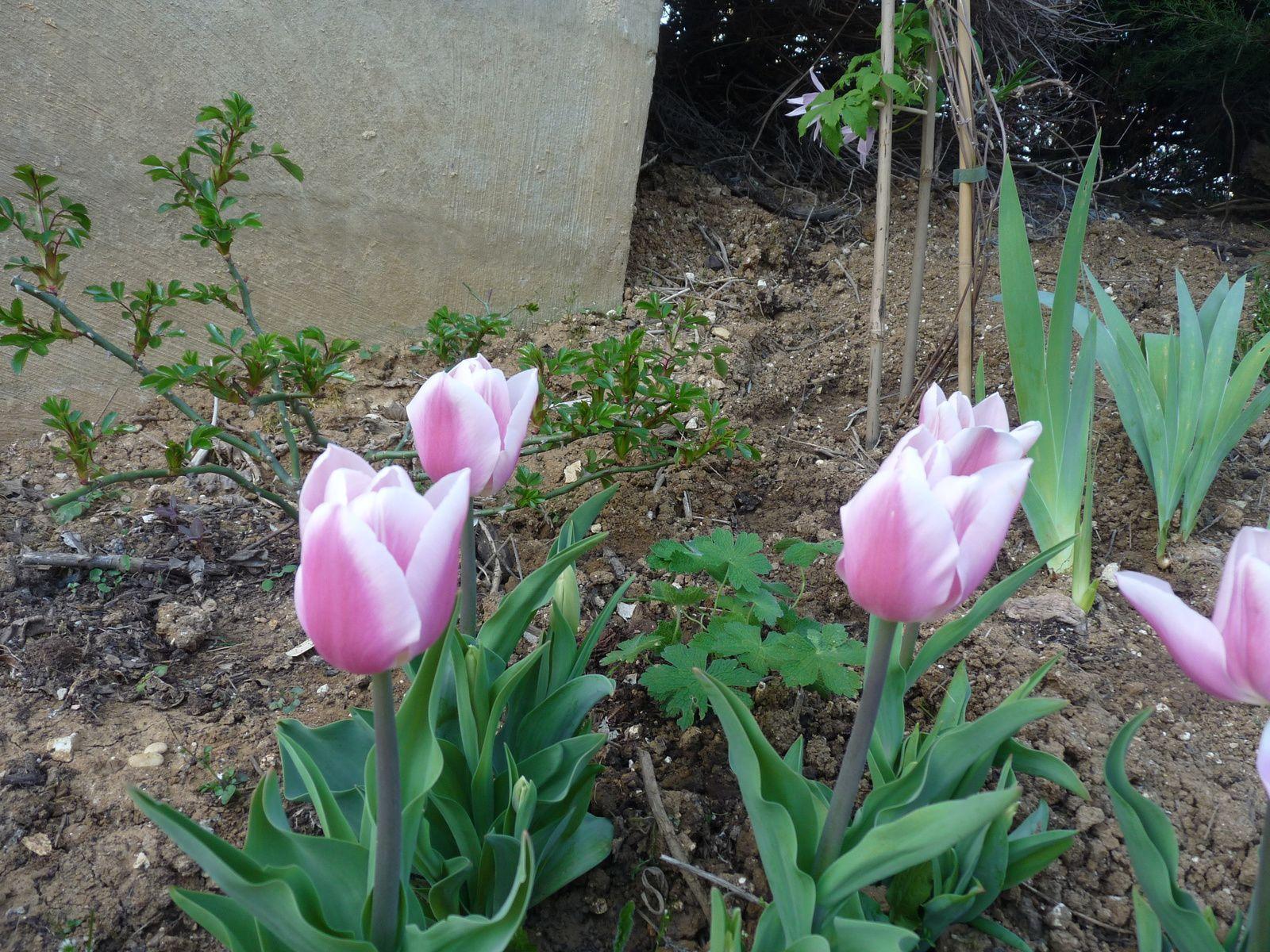 Au premier plant, les tulipes Gabriella Triomphe. Derrière la clématite, il y aura bientôt  un support.