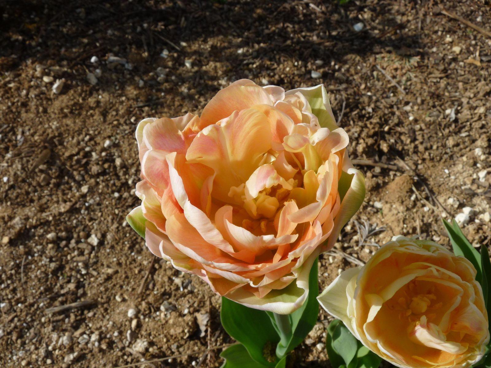 Tulipes Apricot Angélique