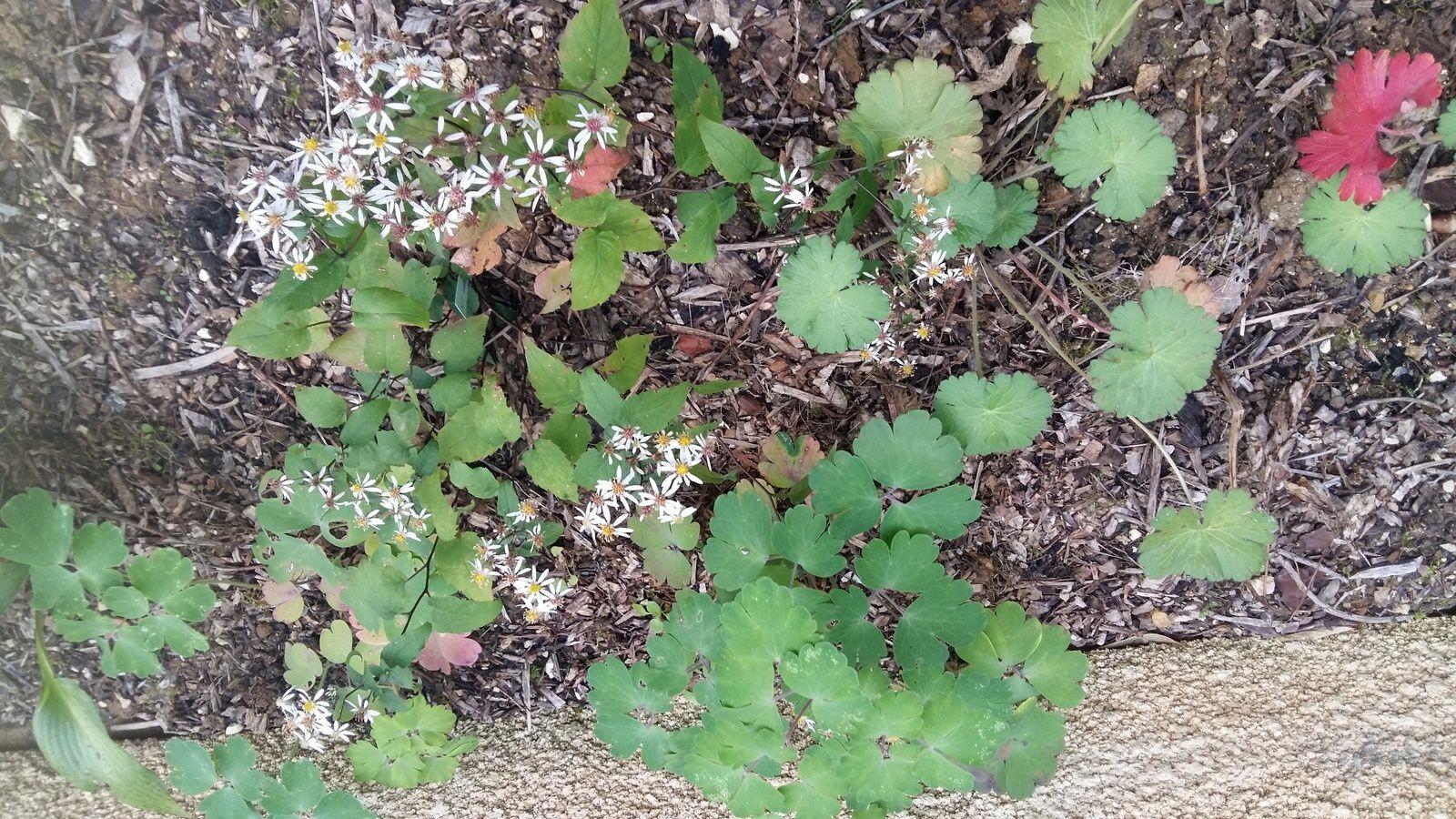 Géranium Pyreanicum Bill Wallis de Josiane et Ancolies d'Annick et Chantal