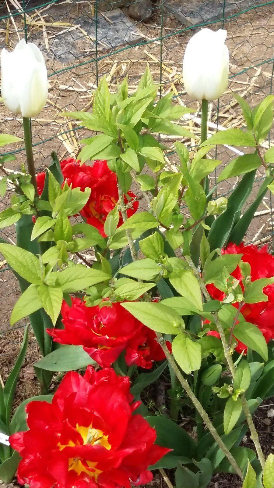 Avec d'autres Tulipes (?)