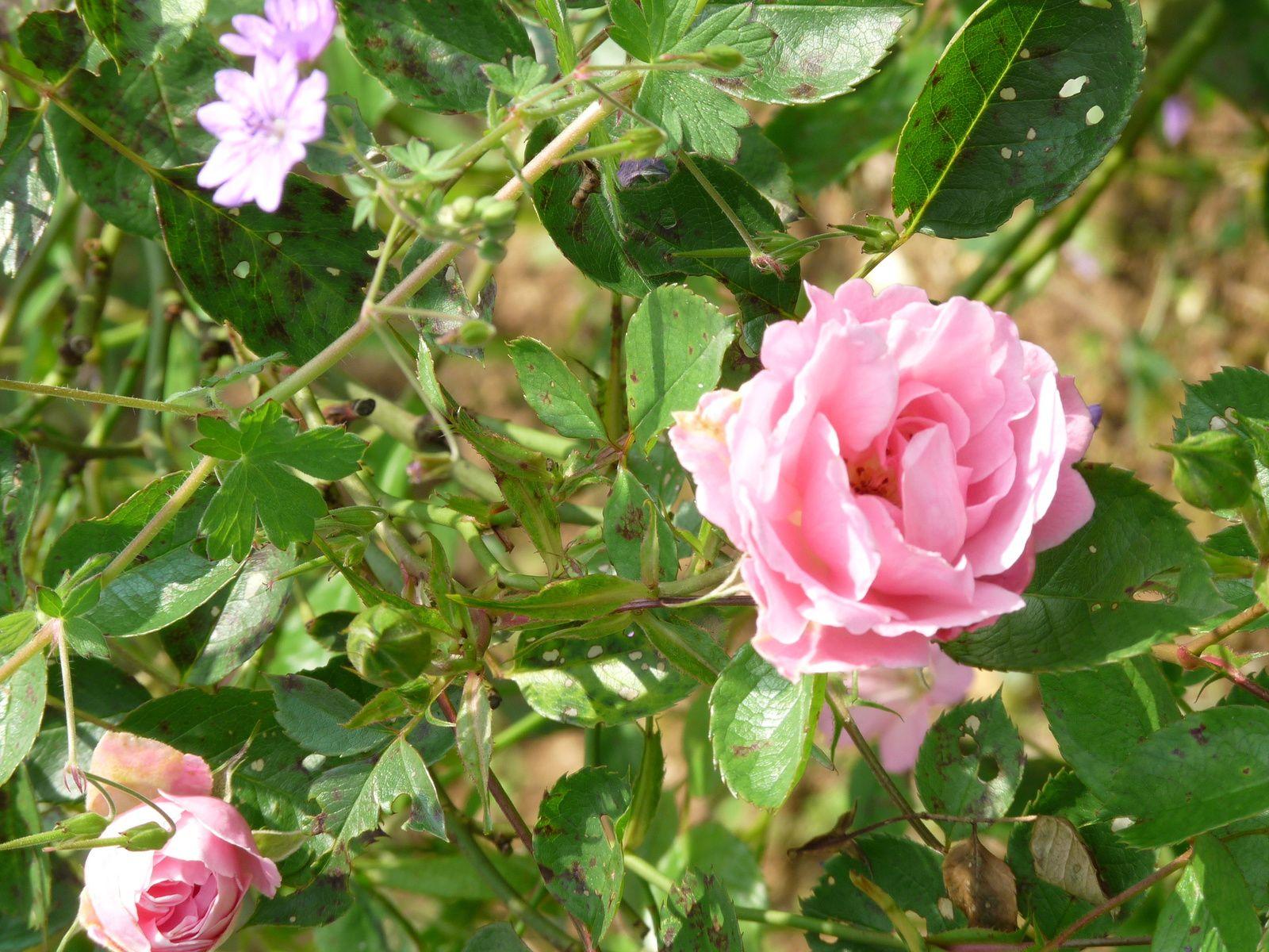 Linaria Purpurea Canon Went 2015 de Josiane, Aquilegia Caerulea rose Queen, Rosier Magical Moment et Yellow Changelling de Warren, rosier Vent d'été