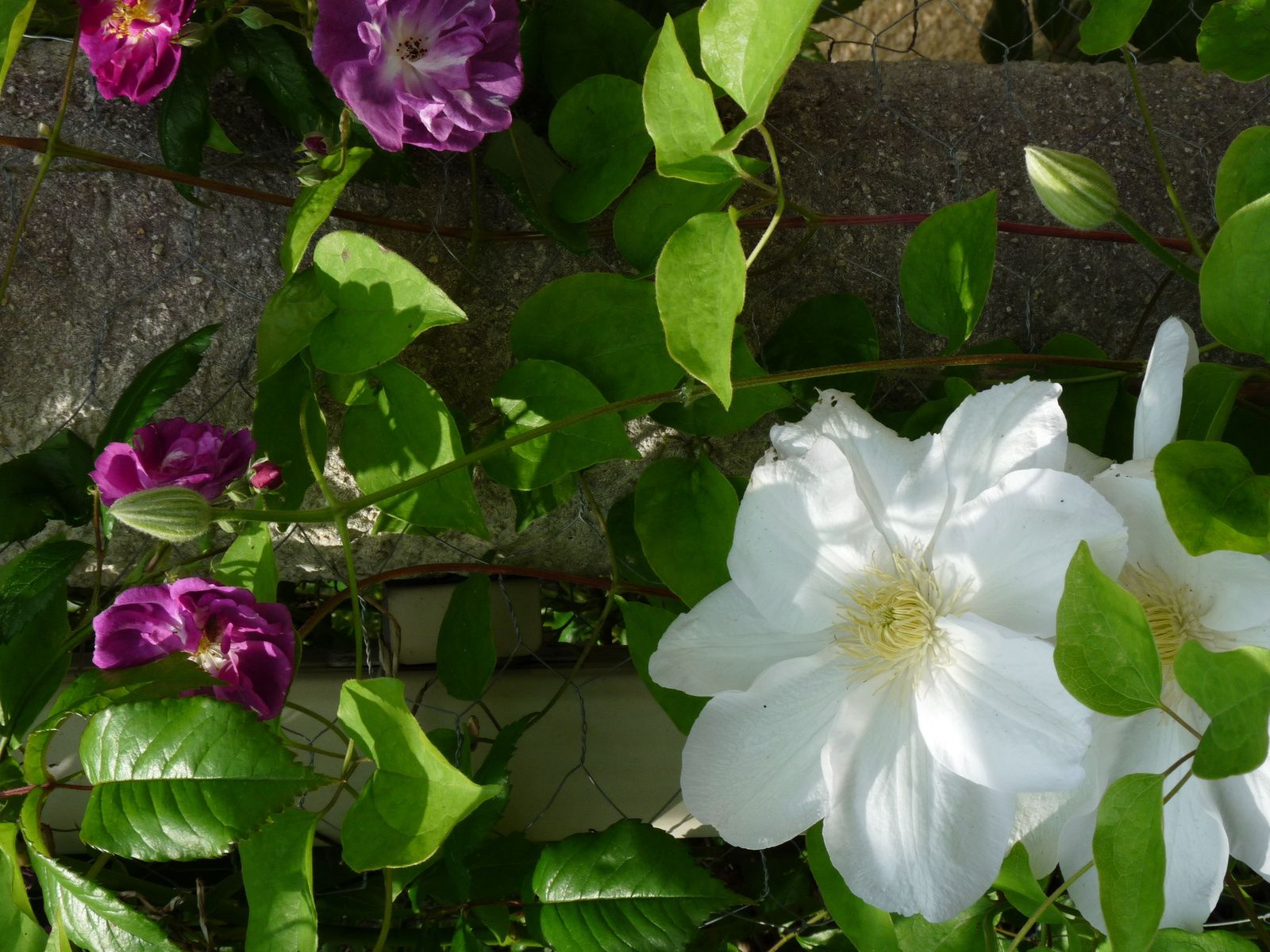 Rosier Lilac Jewel, Clematis Shiraya Kihime, Rosier Purple Skyliner