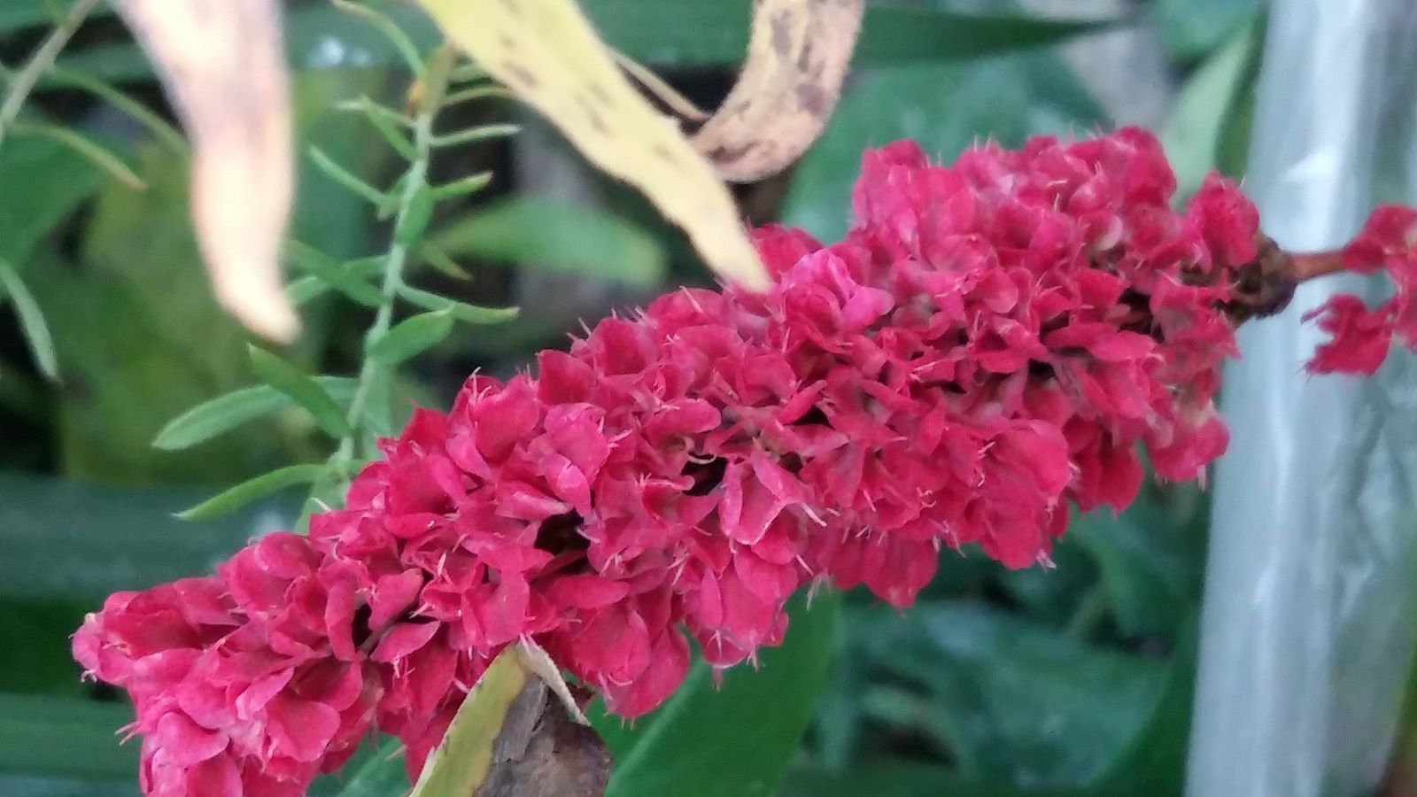 Persicaria Affinis Kabouter (couvre- sol)