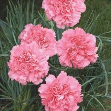 5) Dianthus Caryophyllus (photo du net)
