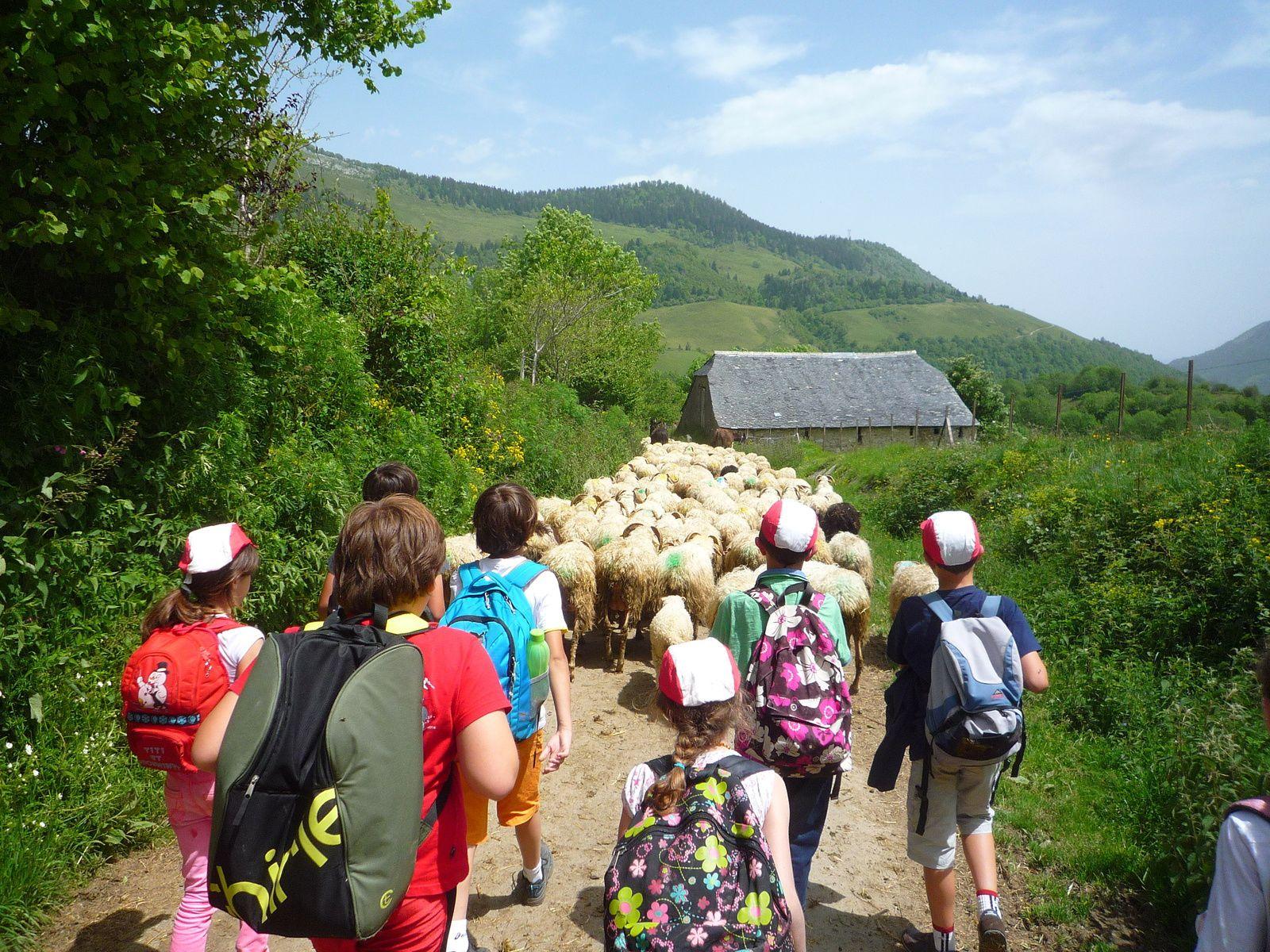 Et les bonnes surprises continuent : Les fermiers nous proposent de les aider à emmener le troupeau aux champs : 4 élèves à l'avant du troupeau, les autres en rabatteurs : Quelle joie de pouvoir faire ça ! Et qu'il était beau ce troupeau dans son grand espace de verdure !