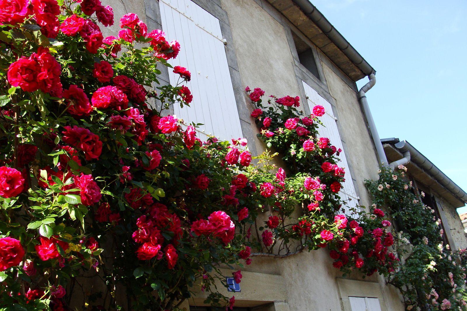 Camon: roses