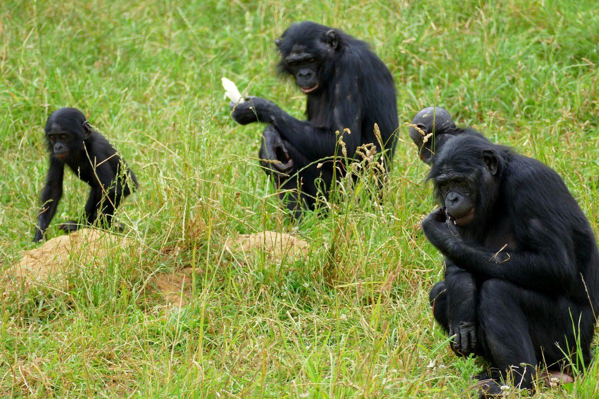 Les troublantes attitudes des bonobos du parc ( juillet 2016, images personnelles)
