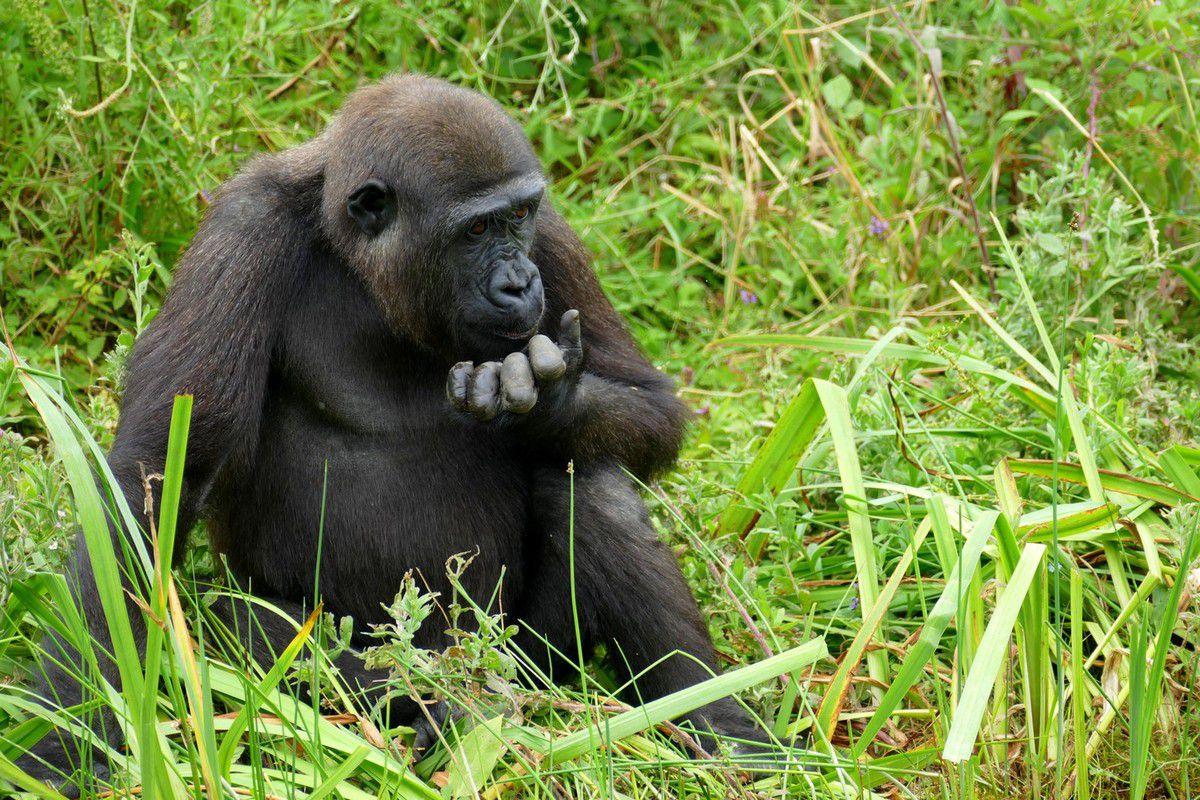 La Vallées des Singes accueille le plus grand groupe de gorilles d'Europe (juillet 2016, images personnelles)