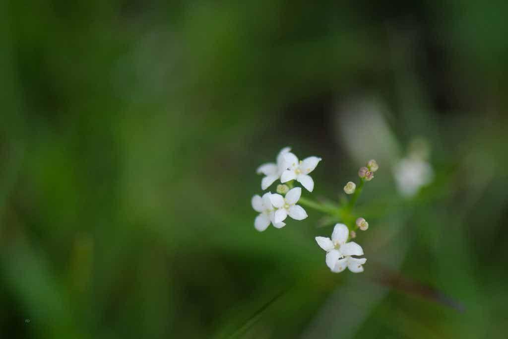 2016_07: Quelques petites fleurs d'Osseja