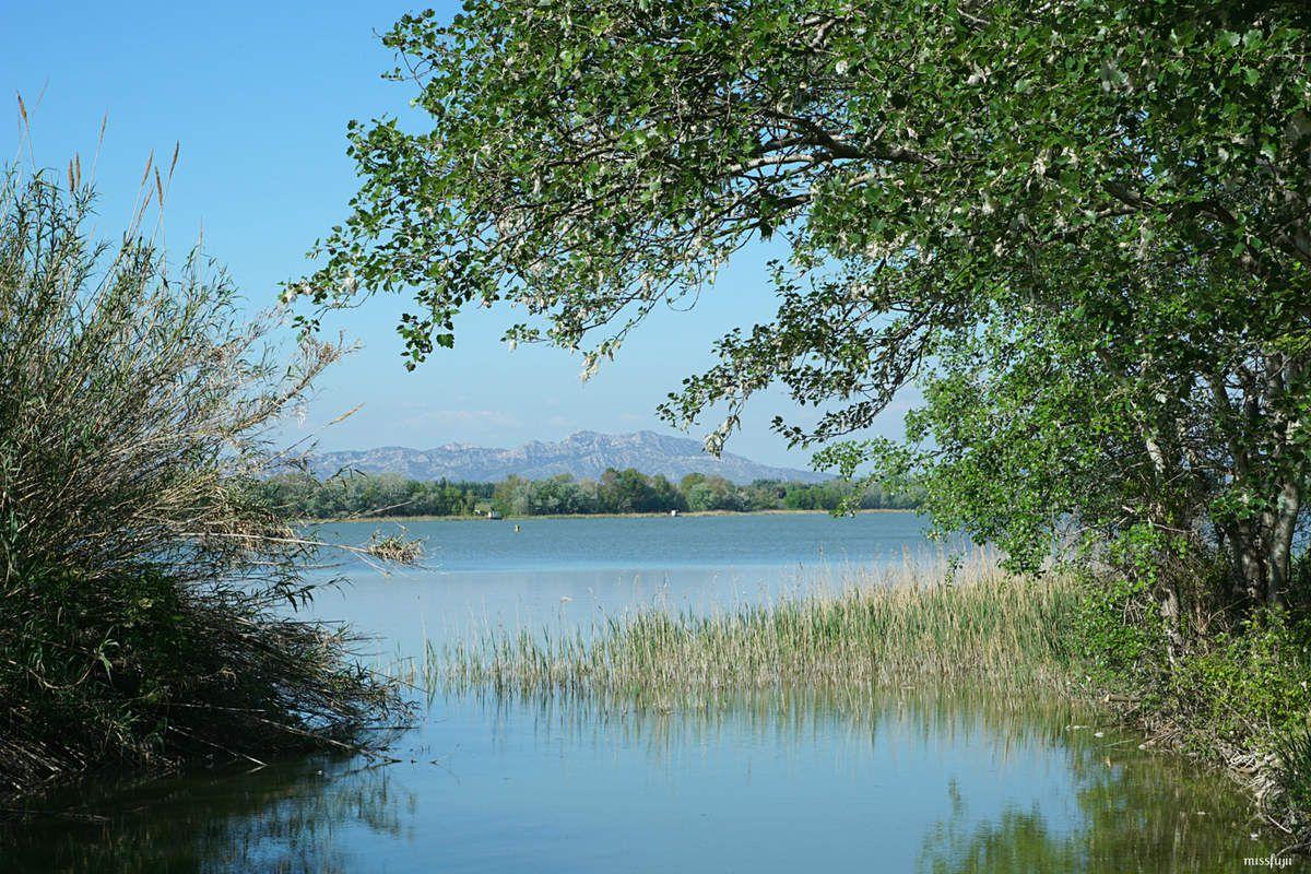 Photo d'un joli bouleau prise sur les rives de l'étang d'Entressen, en arrière plan on aperçoit les alpilles