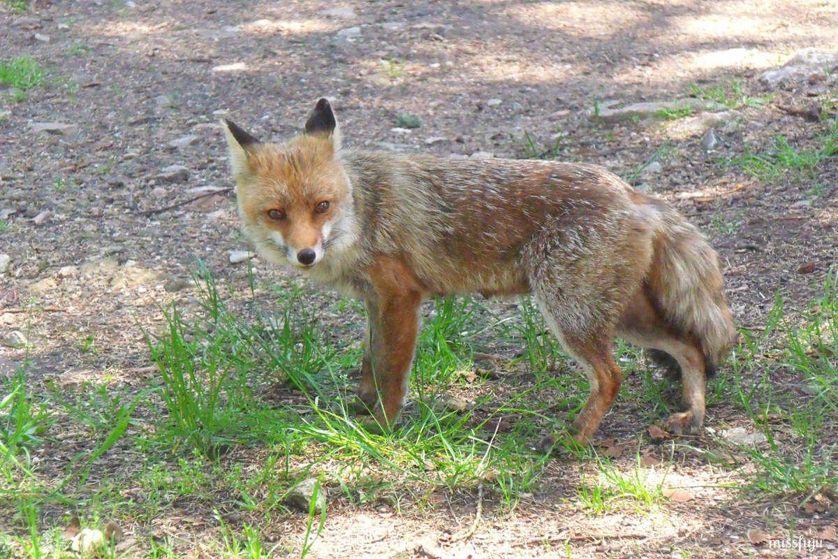 La photo du dimanche #53 rencontre avec une renarde