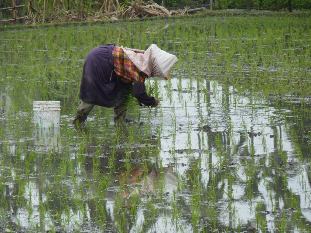 et les rizières!